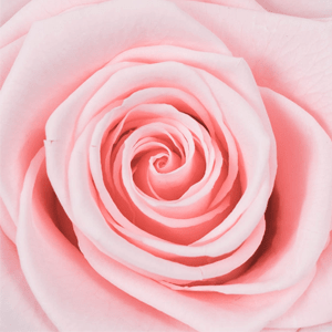 Swatch Bridal Pink