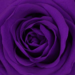 swatch rose color violett